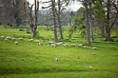 EASTON WALLED GARDEN  LINCOLNSHIRE: SHEEP AND SPRING LAMBS GRAZING IN THE PARK WITH PINE TREES. SPRING  LANDSCAPE  FARM ANIMALS  LIVESTOCK.