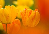 EASTON WALLED GARDEN  LINCOLNSHIRE: GRAPHIC CLOSE-UP OF YELLOW AND ORANGE TULIPS. SPRING  BULB  ABSTRACT  FLOWERS  BI-COLOUR