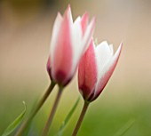 EASTON WALLED GARDEN  LINCOLNSHIRE: TULIPA CLUSIANA PEPPERMINT STICK GROWING IN THE MEADOW. DELICATE  PALE PINK  FRAGILE  BEAUTIFUL  SPRING  BULB