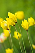 EASTON WALLED GARDEN  LINCOLNSHIRE: TULIPA TARDA GROWING IN THE MEADOW. YELLOW FLOWERS  SPRING  BULB  DELICATE  TULIP