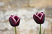 EASTON WALLED GARDEN  LINCOLNSHIRE: CLOSE-UP OF BURGUNDY AND WHITE TULIPA JACKPOT. FLOWER  SPRING  BULB  PURPLE/MAUVE. TULIP. PLANT PORTRAIT