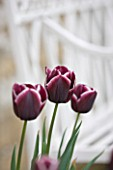 EASTON WALLED GARDEN  LINCOLNSHIRE: CLOSE UP OF BURGUNDY AND WHITE TULIPA JACKPOT. SPRING  FLOWER  BULB  TULIP. PLANT PORTRAIT