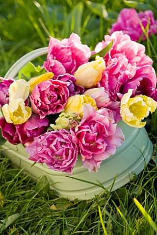 FARRINGTONS_FARM__SOMERSET_A_TRUG_FULL_OF_MIXED_YELLOW_TULIPS_AND_PINK_PEONY_TULIPS