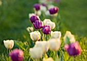 FARRINGTONS FARM  SOMERSET: A MIXTURE OF TRIUMPH TULIPA BLUE BEAUTY AND IVORY PARROT TULIP CREME LIZARD