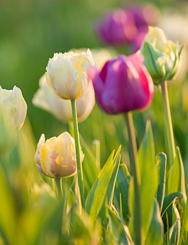 FARRINGTONS_FARM__SOMERSET_TRIUMPH_TULIPA_BLUE_BEAUTY