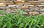 ARALIA GARDEN DESIGN - PATRICIA FOX: WEDNESDAY HOUSE: DETAIL OF STACHYS GROWING BESIDE A STONE WALL