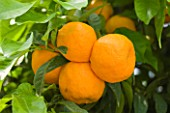 PIANTE FARO  SICILY: CLOSE UP OF CITRUS AURANTIUM