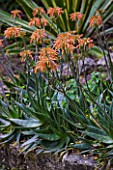 SICILY  ITALY: LA CASE BIVIERE NEAR LENTINI - ORANGE FLOWERS OF ALOE STRIATA