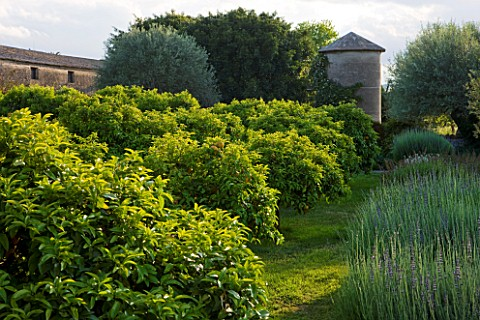 SICILY__ITALY_SAN_GIULIANO_ESTATE_THE_SCENTED_GARDEN__MOUNDS_OF_LAVENDER_AND_LAVANDIN_CITRUS_TREES_W