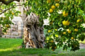 SICILY  ITALY: SAN GIULIANO ESTATE: ANCIENT OLIVES AND MATURING CITRUS FRUIT TREES IN THE ARABIC GARDEN