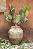 SICILY  ITALY: SAN GIULIANO ESTATE: TERRACOTTA CONTAINER WITH OPUNTIA FICUS-INDICA, PRICKLY PEAR CACTUS
