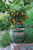 SICILY  ITALY: CASA CUSENI IN TAORMINA - FADED GREEN TERRACOTTA CONTAINER PLANTED WITH KUMQUAT - FORTUNELLA MARGARITA - ORANGE  EDIBLE  EXOTIC  FRUIT  TROPICAL  POT  MEDITERRANEAN