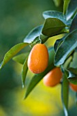 SICILY  ITALY: CASA CUSENI IN TAORMINA - CLOSE UP PLANT PORTRAIT OF KUMQUAT - FORTUNELLA MARGARITA - ORANGE  EDIBLE  EXOTIC  FRUIT  TROPICAL  MEDITERRANEAN  RIPENING  GREEN FOLIAGE