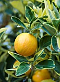SICILY, ITALY: CASA CUSENI IN TAORMINA - CLOSE UP PLANT PORTRAIT OF CITRUS FRUIT - YELLOW, EDIBLE, SINGLE, GREEN LEAVES