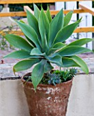 SICILY  ITALY: CASA CUSENI IN TAORMINA - TERRACOTTA CONTAINER PLANTED WITH AGAVE ATTENUATA - GREY  GREEN  PLANT PORTRAIT  MEDITERRANEAN  SUCCULENT  POT