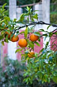 SICILY  ITALY: CASA CUSENI IN TAORMINA - UPPER TERRACE WITH ORANGE TREES - CITRUS  MEDITERRANEAN  FRUIT