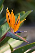 SICILY, ITALY: FLORENCE TREVELYAN GARDENS, TAORMINA - ORNAGE AND PURPLE FLOWER OF STRELITZIA REGINAE - BIRD OF PARADISE FLOWER - CLOSE UP, PLANT PORTRAIT, EXOTIC, TROPICAL