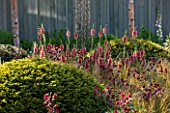 CHELSEA FLOWER SHOW 2014: PLANTING IN KHORA GARDEN -  AQUILEGIA RUBY PORT AND VERBASCUM PETRA