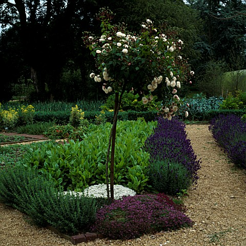 STANDARD_ROSE_WITH_HYSSOP__THYME__SORREL_AND_LAVANDULA_HIDCOTE_IN_THE_POTAGER_AT_LE_MANOIR_AUX_QUAT_