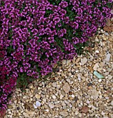 THYME BRESSINGHAM PINK IN THE POTAGER AT LE MANOIR AUX QUAT SAISONS