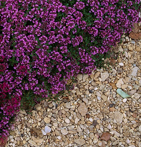 THYME_BRESSINGHAM_PINK_IN_THE_POTAGER_AT_LE_MANOIR_AUX_QUAT_SAISONS