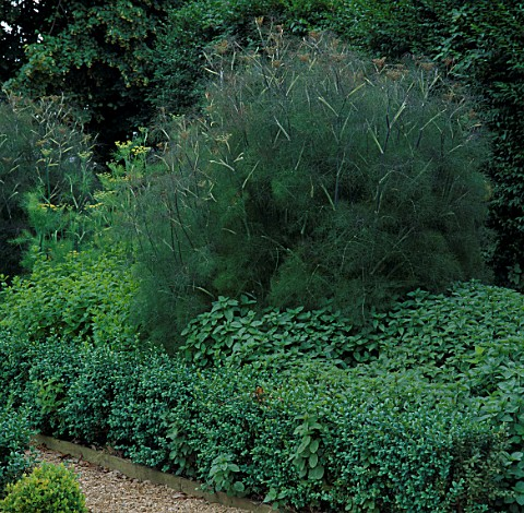 BRONZE_FENNEL__BOX_HEDGE__PEPPERMINT_AND_GREEN_FENNEL_IN_THE_POTAGER_AT_LE_MANOIR_AUX_QUAT_SAISONS