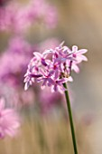 CORFU, GREECE - THE KASSIOPIA ESTATE: CLOSE UP OF THE DELICATE PINK FLOWERS OF TULBAGHIA VIOLACEA