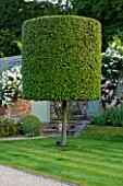 POULTON HOUSE GARDEN, WILTSHIRE: CLIPPED TOPIARY QUERCUS ILEX  - COUNTRY GARDEN, GREEN, CLASSIC, CLASSICAL, FORMAL