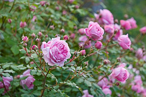 POULTON_HOUSE_GARDEN_WILTSHIRE_CLOSE_UP_OF_ROSA_ALAN_TITCHMARSH_PALE_PINK_ROSE