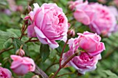 POULTON HOUSE GARDEN, WILTSHIRE: CLOSE UP OF ROSA ALAN TITCHMARSH PALE PINK ROSE