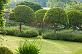 POULTON HOUSE GARDEN, WILTSHIRE:BEAUTIFULLY CLIPPED DOMES OF PRUNUS LUSCITANICA SURROUNDED BY LAVENDER HIDCOTE