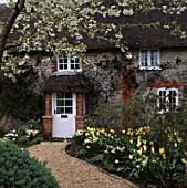 SPRINGTIME: PATH LEADING TO FRONT DOOR OF COTTAGE OVERHUNG BY BLOSSOM OF PRUNUS TAI HAKU.  NARCISSUS THALIA & TULIP PURISSIMA  IN BORDER. ASHTREE COTTAGE  WILTS.