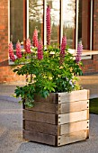 HORATIOS GARDEN  SALISBURY HOSPITAL  WILTSHIRE - DESIGNER CLEEVE WEST - WOODEN CONTAINER PLANTED WITH PINK LUPINS