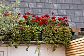BEN DE LISI HOUSE AND GARDEN  LONDON: RED GERANIUMS ABOVE THE SHED IN THE GARDEN