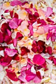 COMMON FARM FLOWERS. SOMERSET, SUMMER - FRESH ROSE PETALS FOR CONFETTI - ORGANIC  - FLOWERS, FLOWERING, PINK, CREAM, PETAL, WEDDING, WEDDINGS, NATURAL, REAL