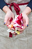 COMMON FARM FLOWERS. SOMERSET, SUMMER - FRESH ROSE PETALS PULLED FOR CONFETTI - FLOWERS, FLOWERING, PINK, CREAM, PETAL, WEDDING, WEDDINGS, NATURAL, REAL, GIRLS HAND, HANDS