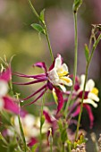COMMON FARM FLOWERS, SOMERSET: CLOSE UP OF RED AND WHITE FLOWER OF AQUILEGIA X HYBRIDA MCKANA GIANTS MIXED - COLUMBINE, SINGLE, HARDY, PERENNIAL, GRANNYS BONNET