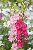 COMMON FARM FLOWERS, SOMERSET: CLOSE UP PLANT PORTRAIT OF THE FLOWERS OF DELPHINIUM CONSOLIDA CARMINE KING AND ROSE QUEEN - RED, PALE, PINK, ANNUAL, LARKSPUR