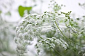 COMMON FARM FLOWERS, SOMERSET, SUMMER: WHITE FLOWER OF AMMI MAJUS - BISHOPS FLOWER -  FLOWER, PLANT PORTRAIT, CLOSE UP, ANNUAL