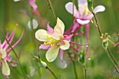 COMMON FARM FLOWERS, SOMERSET: CLOSE UP OF YELLOW AND PINK FLOWER OF AQUILEGIA X HYBRIDA MCKANA GIANTS MIXED - COLUMBINE, SINGLE, HARDY, PERENNIAL, GRANNYS BONNET