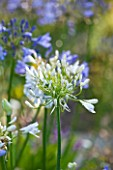 LE HAUT, GUERNSEY: CLOSE UP OF WHITE AGAPANTHUS - AGAPANTHUS AFRICANUS ALBUS
