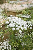 THE CHELSEA PHYSIC GARDEN  LONDON: AMMI MAJUS - BULLWORT  COMMON BISHOPS WEED  FALSE BISHOPS WEED  HERB WILLIAM
