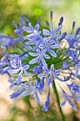 THE CHELSEA PHYSIC GARDEN  LONDON:AGAPANTHUS AFRICANUS