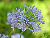THE CHELSEA PHYSIC GARDEN  LONDON: AGAPANTHUS AFRICANUS
