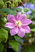 RAYMOND EVISON CLEMATIS: CLEMATIS ABELENE
