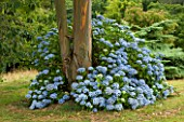 MARWOOD HILL  DEVON: HYDRANGEA MACROPHYLLA AYESHA AROUND THE TRUNK OF EUCALYPTUS NITENS