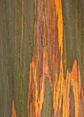 MARWOOD HILL  DEVON: CLOSE UP ABSTRACT IMAGE OF THE BARK OF EUCALYPTUS NITENS