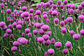 FLOWERING CHIVES (ALLIUM SCHOENOPRASUM)