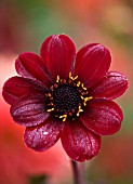 CHENIES MANOR, BUCKINGHAMSHIRE: CLOSE UP PLANT PORTRAIT OF DARK RICH RED FLOWER OF DAHLIA BISHOP OF AUCKLAND - AUTUMN, AUTUMNAL, LATE SUMMER, RAIN
