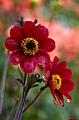 CHENIES MANOR, BUCKINGHAMSHIRE: CLOSE UP PLANT PORTRAIT OF DARK RICH RED FLOWERS OF DAHLIA BISHOP OF AUCKLAND - AUTUMN, AUTUMNAL, LATE SUMMER, RAIN